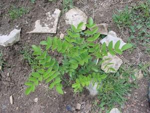800px-Réglisse(feuilles)